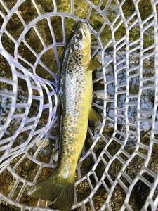 Brown Trout — Hugo Fisher