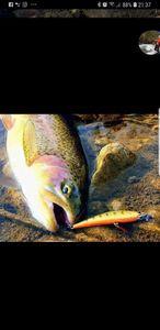 Rainbow Trout — Olivier  Tondeur