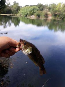 Smallmouth Bass — Guillaume Lo Pinto