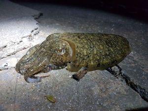 Common Cuttlefish — OJ OJ