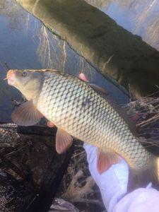 Common Carp — Florian Apicella