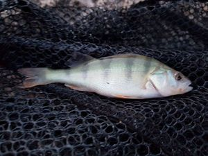 European Perch — Romain Peli