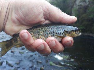 Atlantic Salmon (Juvenile) — Yves KERMARREC