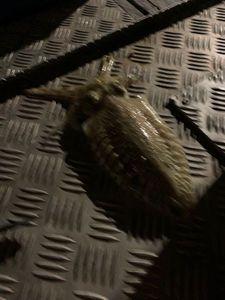 Common Cuttlefish — Titouan Dorveaux