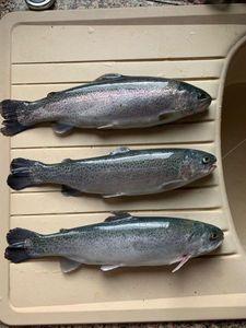 Rainbow Trout — Cédric Petetin