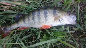 European Perch — Lukéli Frn