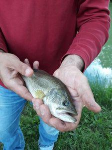 Largemouth Bass — Julio As