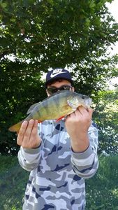 European Perch — Matt Hennon