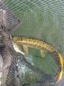 Northern Pike — Theddy Gonthier