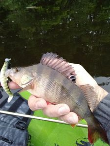European Perch — Nicolas Delage