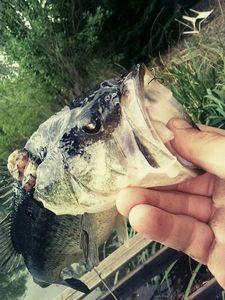 Largemouth Bass — Gorriz Jonathan
