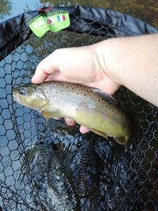 Brown Trout — Tony Hesnard