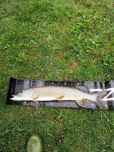 Northern Pike — Majid Adrrab