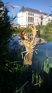 Spinycheek Crayfish — Benoit Chapeaublanc