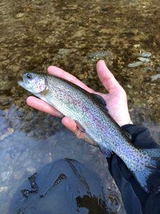 Rainbow Trout — Maxou pescadou