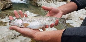 Rainbow Trout — Julien Basquin