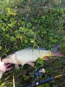 Common Carp — Willy Benoni