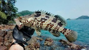Orange Spotted Grouper — Xubakal EH