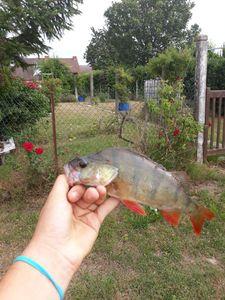 European Perch — Matt Hennon