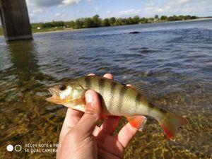 European Perch — TIM FISH (Youtube)