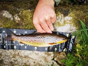 Brown Trout — Guillaume le Gall