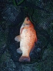 Gold-Saddle Goatfish — Emánuel Viktor