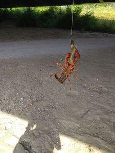 Noble Crayfish — Guitar D