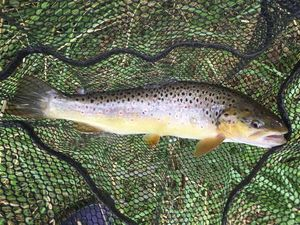 Brown Trout — Nico S.