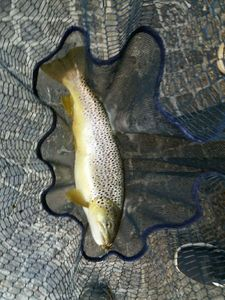 Brown Trout — Loris Trevisan