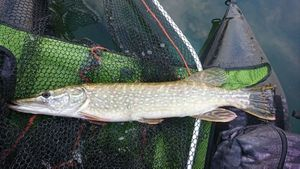 Northern Pike — Nicolas Prieur
