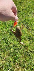 grenouille verte — Willy Benoni