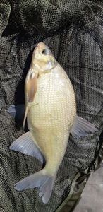 Common Bream — Greg Pod