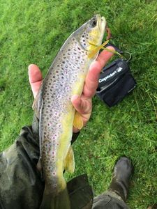 Brown Trout — Flavien Renauld