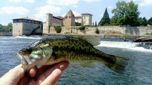 Largemouth Bass — Greg Coupau