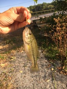 Largemouth Bass — Driss Albator 46