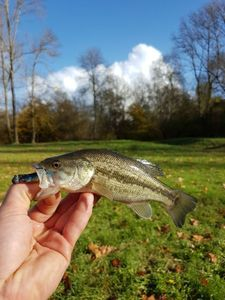 Largemouth Bass — Billet.Violet No Kill