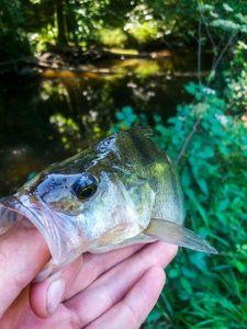 European Perch — Walker's Fishing