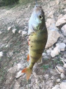 European Perch — Hard Teck