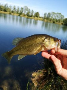 Largemouth Bass — Cedric RT