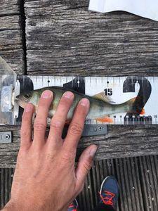 European Perch — Thomas Spicer