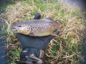 Brown Trout — Mickael Bignolais