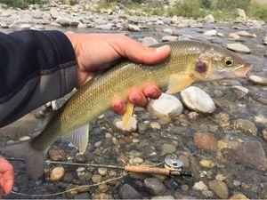 Mountain Whitefish — Yannick Riviere
