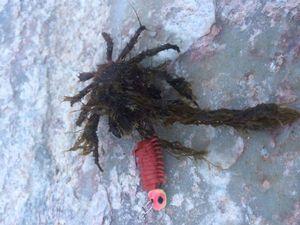 European Spider Crab — Charles Gille