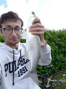 Thinlip Grey Mullet — Mathieu Blanc