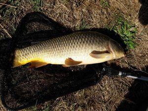 Common Carp — Mathis Nadaud