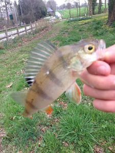 European Perch — Nolann Soun