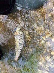 Brown Trout — Jeremy Leblond