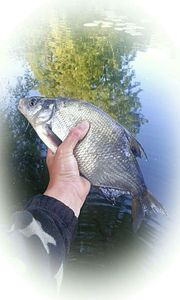 Common Bream — Kr Fishing