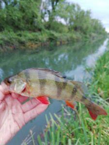 European Perch — Andy Tardieu