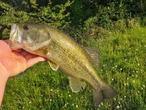 Largemouth Bass — Alexis Borde